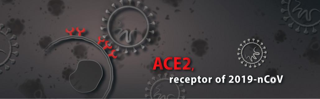 ACE-2, receptor of 2019-nCoV