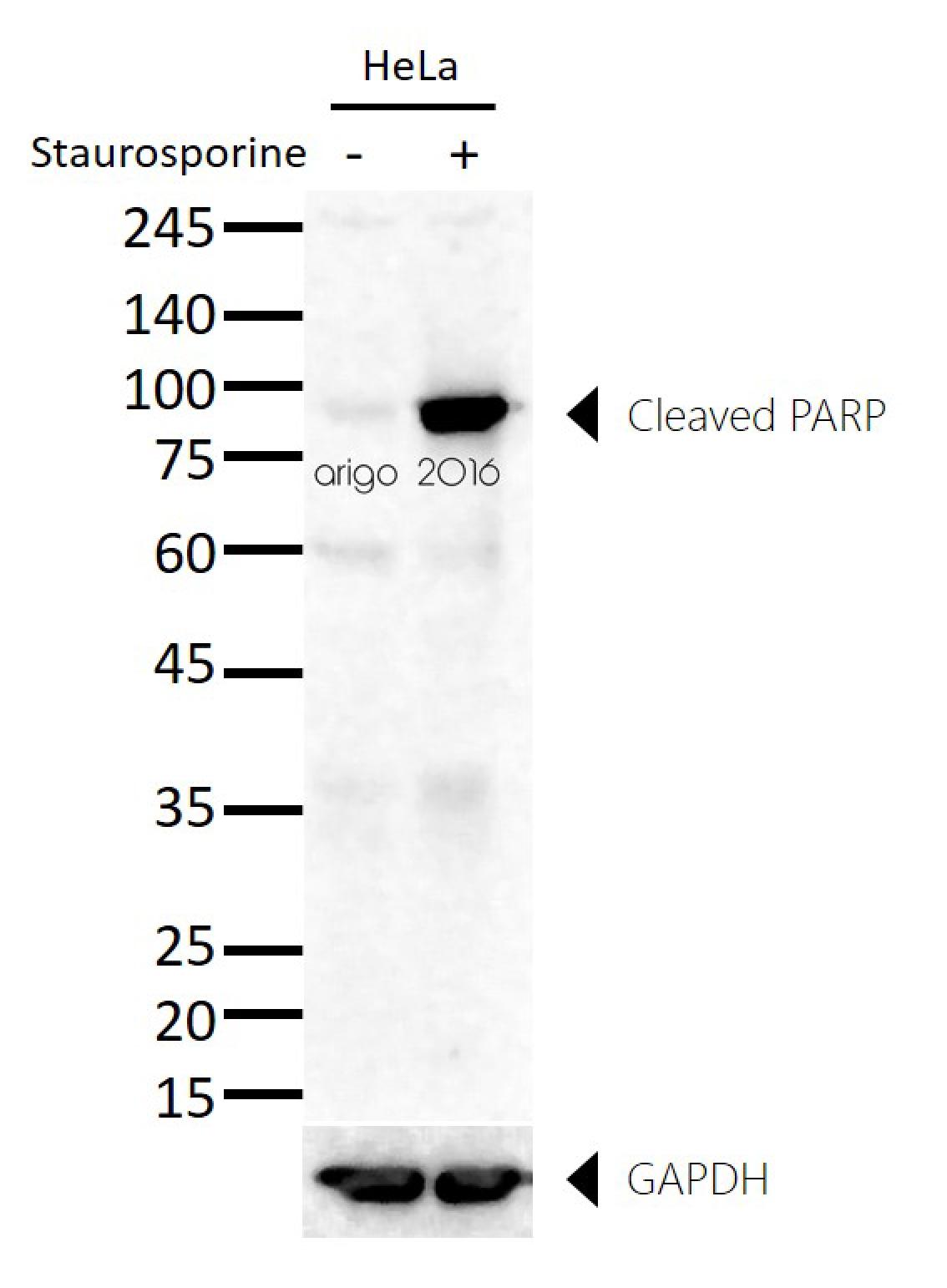 Anti Parp Cleaved Antibody Arg20041 Arigo